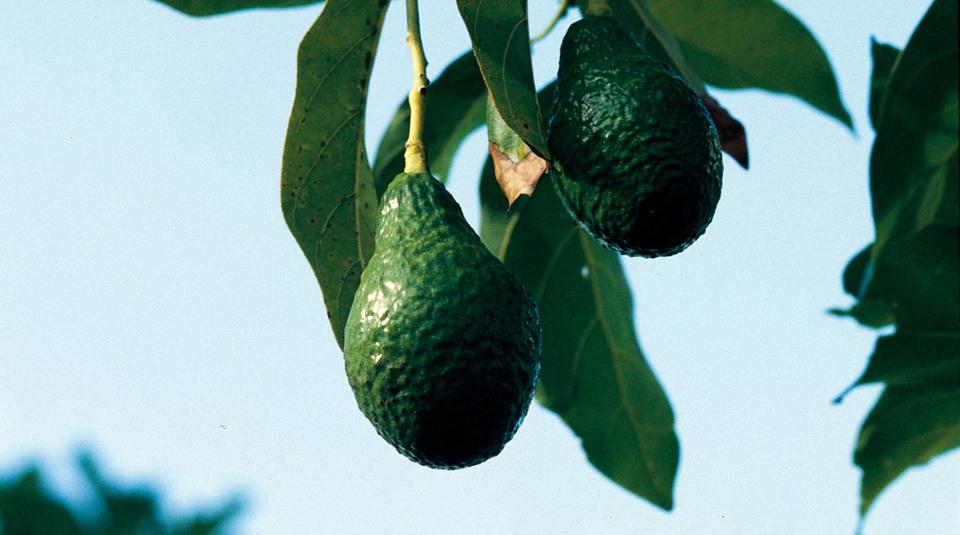 avocado warenkunde avocados haben es in sich k cheng tter. Black Bedroom Furniture Sets. Home Design Ideas
